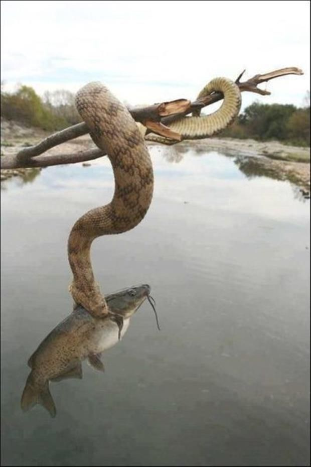 Snake catches fish!: Amazing, Reptiles, Animals, Nature, Creature, Things, Snakes, Photo, Snake Fishing