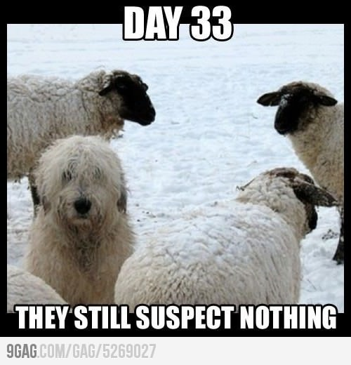 Stealth Dog- Sure looks a lot like Beau!: Sheepdog, Sheep Dogs, Animals, Funny Stuff, Humor, Funnies