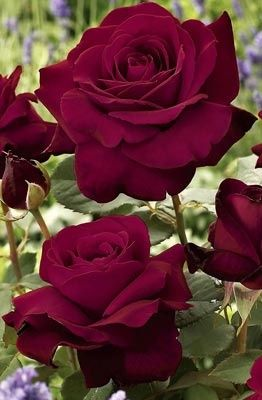 Stunning Red Roses.: Beautiful Roses, Color, Red Roses, Beautiful Flowers, Rose Garden, Flowers