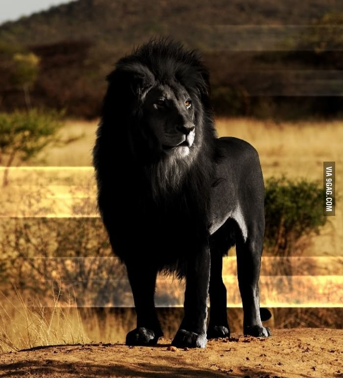 The opposite of albinism called melanism, a recessive trait where the skin and fur are all black.: Black Lion, Wild, Big Cats, Animals, Nature, Beautiful, Creatures, Lions, Black Lion
