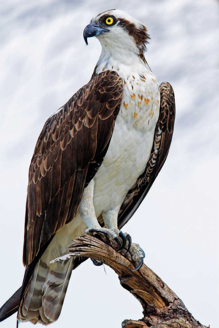 ~The Osprey silently circles high above us as we fish, watching for the released fish that flap at the surface. Surprising us with a bull's eye dive within a few feet of our boat, the fish is snatched up with barely a splash. We all watch opened mouth