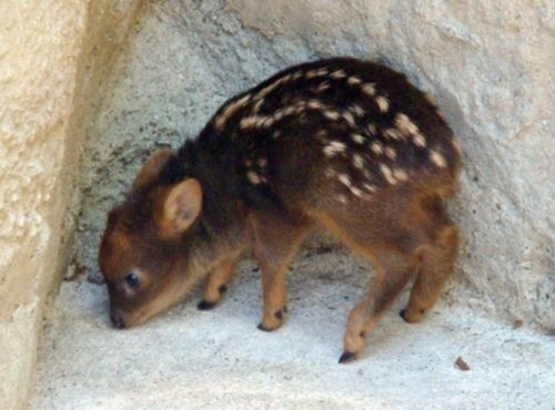 The Pudu: World's smallest deer. They live in bamboo thickets to hide from predators, and can weigh up to 12 kilograms (26 pounds).: Baby Deer, Adorable Animals, Pet, Smallest Deer, Baby Animals