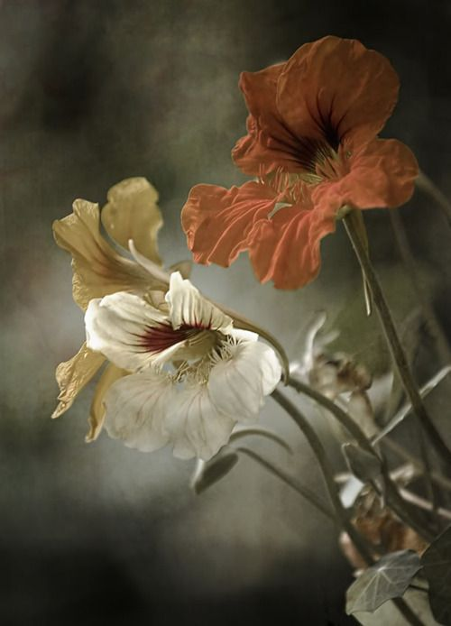 .. Touching pieces like this whether photographed or painted creates a feeling of relaxation and ethereal tranquility. A spectacular moment.  Beautiful: Color, Flora, Nasturtium, Art, Beautiful, Posts, Flowers, Photo, Garden