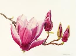 watercolour magnolia: Watercolour Magnolias, Allen Beverly Magnolia, Botanical Illustrations, Allen Magnolia, Beverly Allen, Botanical Beverly, Botanical Art, Tattoo, Flower