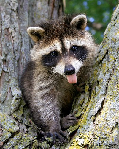 We have a raccoon family living in one of our trees.: Adorable Raccoons, Babies, Cute Baby Animals, Baby Racoon, Raccoon Family, Bandit, Baby Raccoons, Animal Racoon