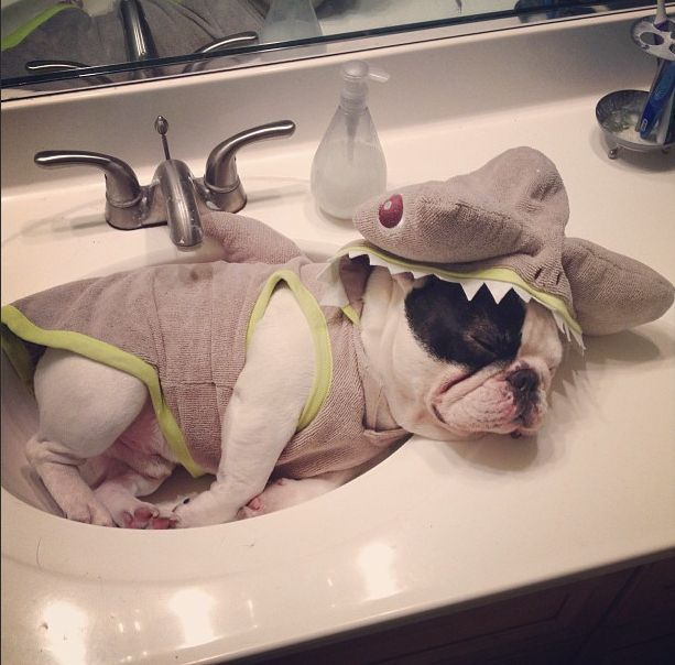 12 French Bulldogs You Need To Be Following On Instagram | Buzzfeed: French Bull Dog, Shark Costumes, Puppies, Animals, French Bulldogs, Frenchbulldogs, Shark Week, Sharks