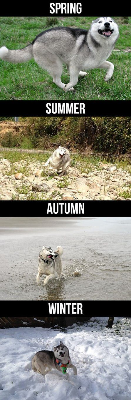 a Husky during the seasons: Animals, Siberian Husky, Seasons, Funny Pictures, Happy Husky, Pet, Happy Dogs, Husky S