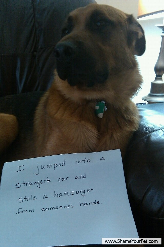 After I stole the hamburger from the persons car which was in their hands I jumped back out of their car and I went back to my person who was sitting at a bench and I ated it, my person ated some too!: Animals, Dog Shaming, Pet, Funny Stuff, Funnies, Humo