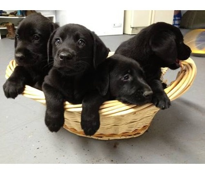 black labrador retriever - Google Search: Animals, Black Labradors, Puppy, Baby, Adorable Labradors, Labrador Retrievers, Black Labs, Animal Dogs