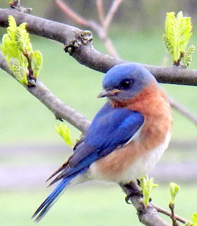 Bluebird Parenting & link at bottom of blog on how to build a blue bird house & discourage sparrows.: Beautiful Bluebird, Bluebird Parenting, Bluebird L, Bluebirds Stopped, Blue Birds, Pretty Bluebird, Birds Bluejays Bluebirds, Blue Bird Tattoo