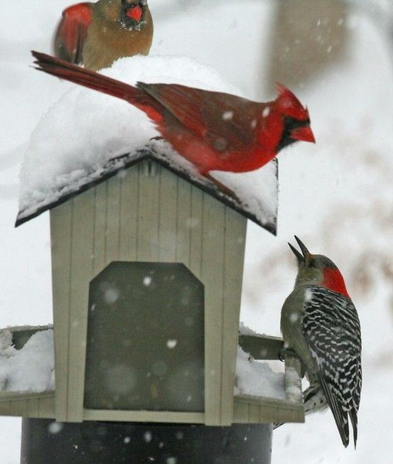 Cardinal pair and red-bellied woodpecker! All birds we've seen at our own backyard feeder setup. <3 <3 <3: Birdhouses, Beautiful Birds, Winter Birds, Bird Houses, Cardinals, Animal