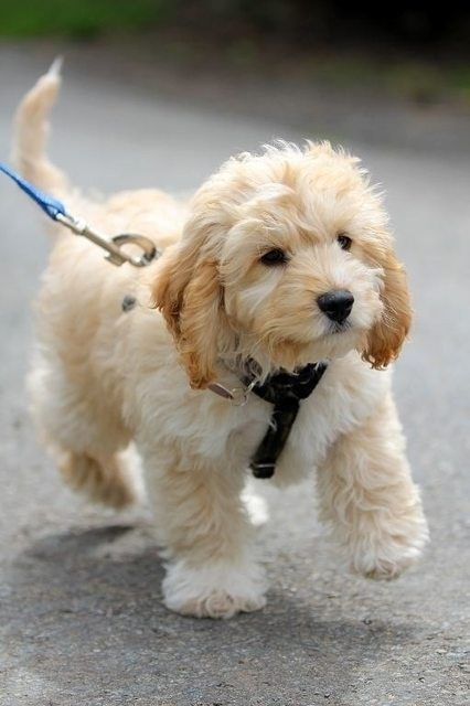 Cavapoo--might need to check this breed out too!: Doggie, Puppies, Dogs, So Cute, Pet, Puppys, Goldendoodle, Animal