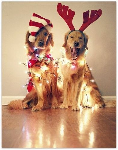"Christmas Goldens -   This photo was taken on December 3, 2009 By Dexell1827 and titled ""Hey, Mom!!"": Holiday, Idea, Dogs, Pet, Christmas Card, Christmas Dog, Merry Christmas, Golden Retriever, Animal"