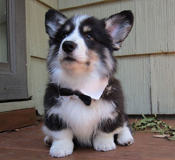 Corgi/husky mix. Next dog.... But it must come with the bow tie: Corgi Husky Mix, Corgis, Dogs, Adorable Animals, Bow Ties, Puppy