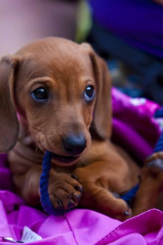 doxie puppies are the cutest ever. no arguments, please.: Animals, Dogs, Dachshund, Pet, Doxie, Puppy, Baby, Eye
