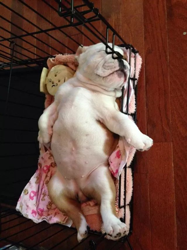 #English #Bulldog #puppy: Bulldog Puppy I, Animals, Cute Bulldogs, Clock, Bulldogs ️, English Bulldog Puppies, English Bulldogs