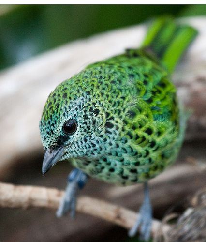 fairy-wren:    spotted tanager: Spotted Tanager, Animals, Nature, Color, Beautiful Birds