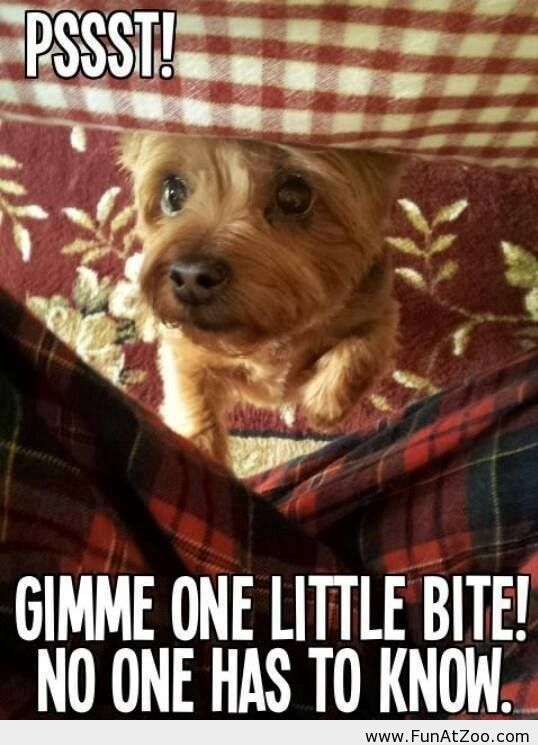 Feed me human no one has to know Funny picture: Funny Animals, Funny Dogs, Funny Pictures, Pet, Funnies, Baby, Cute Yorkies Funny, Little Dogs