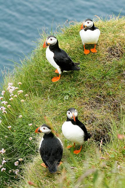 Four atlantic puffins (Faroe Islands), Nicolas Metraux/Stephanie Borcard: Puffins Bird, Puffins Faroe, Birds Puffins, Faroe Islands