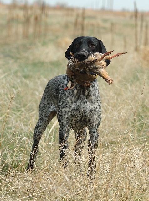 German Shorthair Pointer-Mine is all dark brown with white chest & legs, with some spots on legs.  His name is Augie & he's a handsome hunter.: Hunting Dogs, Shorthair Pointer, Bird Dogs, Birddogs, Gsp, Animal