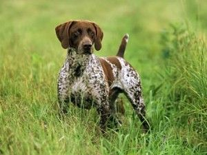 German Shorthaired Pointer: Shorthaired Pointers, Animals, Gsps, Dogs, German Shorthaired Pointer, Dog German Shorthaired