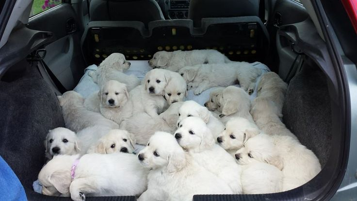 Here Are 30 Swarms Of Cute Puppies. Why? Because Puppies.: Car, Animals, Dogs, Golden Retrievers, Pet, Puppys, Puppy Pile, Golden Retriever Puppies