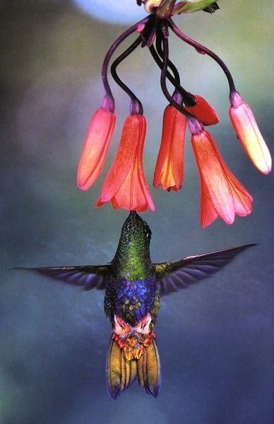 Humming Bird- Reminds me of Grandpa Sewell and Grandma too!  :): Humming Birds, Animals, Nature, Color, Hummingbird, Beautiful Birds, Hummingbirds, Hummer