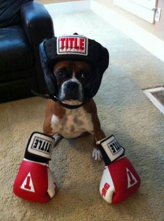 I'm definitely getting a boxing hat for Maggie for Halloween...and maybe the gloves :): Halloween Costume, Animals, Dogs, Pet, Funny, Boxers