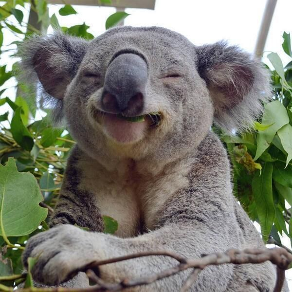 Just a happy koala, that is all...: Animals, Smiling Koala, Happy Koala, Koalas, Funny, Koala Bears, Smile, Photo