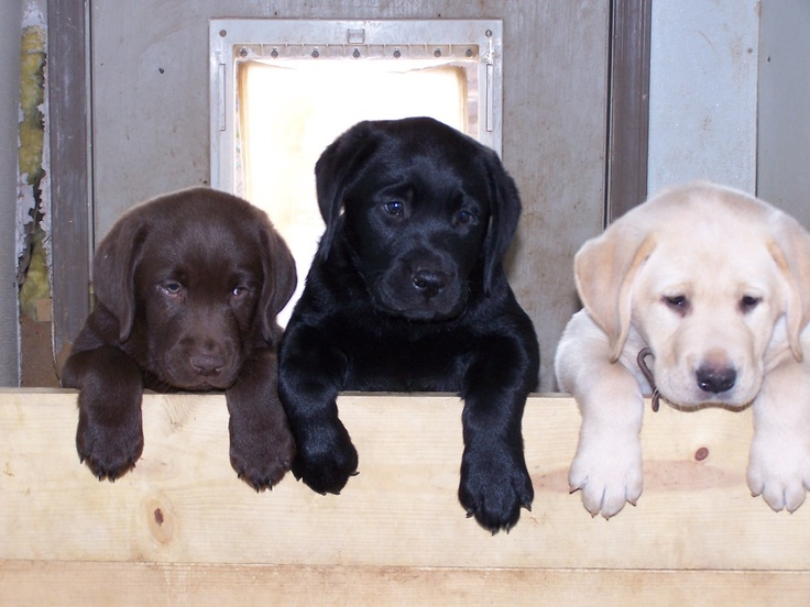 Labrador Retrievers: Labrador Retriever, Labrador, Labs, Animals, Dogs, Color, Lab Puppies, Puppy