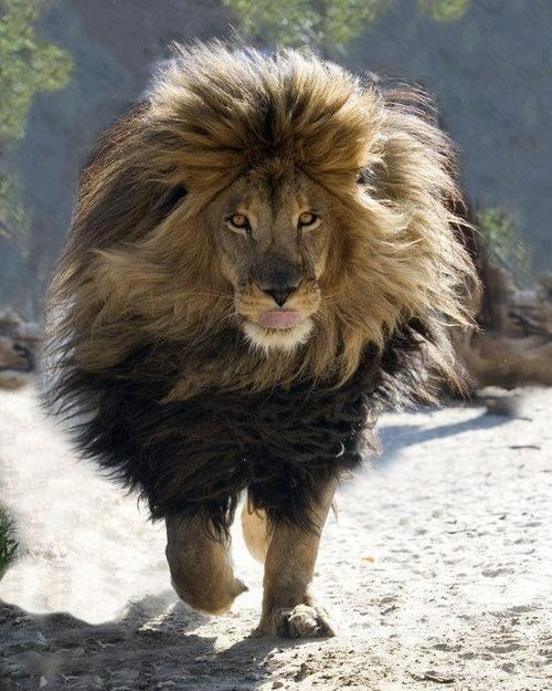 Magnificent lion... Thanks to: Zeus photographed by Bill Dow at the Shambala Preserve in Acton, California: Wild, Animals, Big Cats, Jungle, Bigcats, Beautiful, Lions, Hair, King