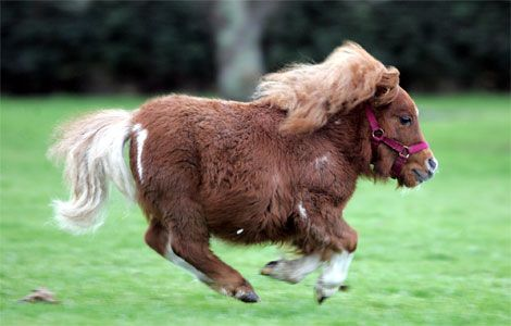 ;): Minihorse, Animals, Pony, Dwarf Horse, Mini Horses, Miniature Horses, Pet, Ponies