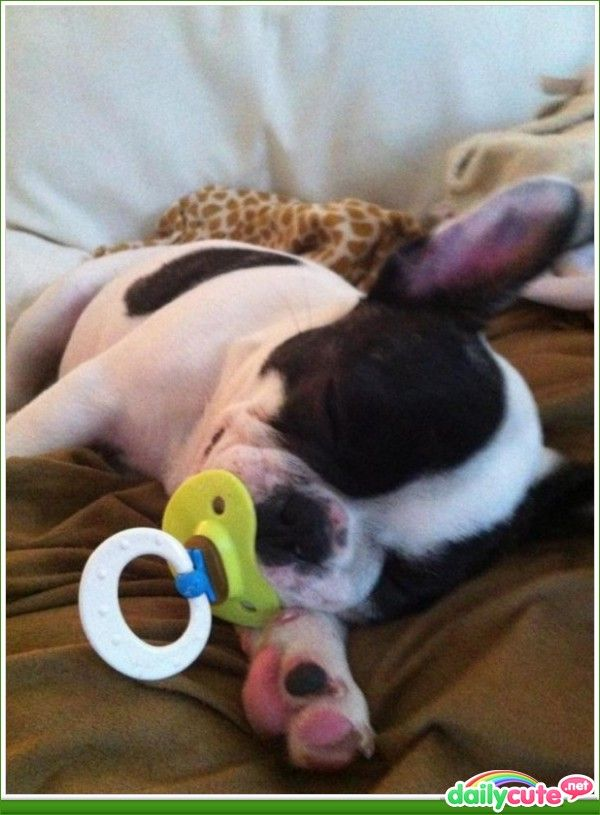 Peaceful sleep: Adorable Boston, Babies, Pacifier, Puppy, Baby Dogs, Baby Animals, Boston Terriers, Animal Babies