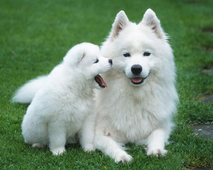 Samoyed. They are members of the working group. They are great reindeer herders, sled dogs, multi-purpose dogs. They stand at 19-23 1/2 inches at the shoulder and weigh about 35-70 pounds.: Puppies, Animals, Dogs, Pets, Puppys, Baby, Photo, Friend