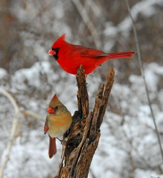 Snow birds- looks like the pair of cardinals that are at my feeder all the time! <3 I just love them! They were my Grandmas favorite birds!: Animals, Winter, Beautiful Birds, Favorite Bird, Cardinals