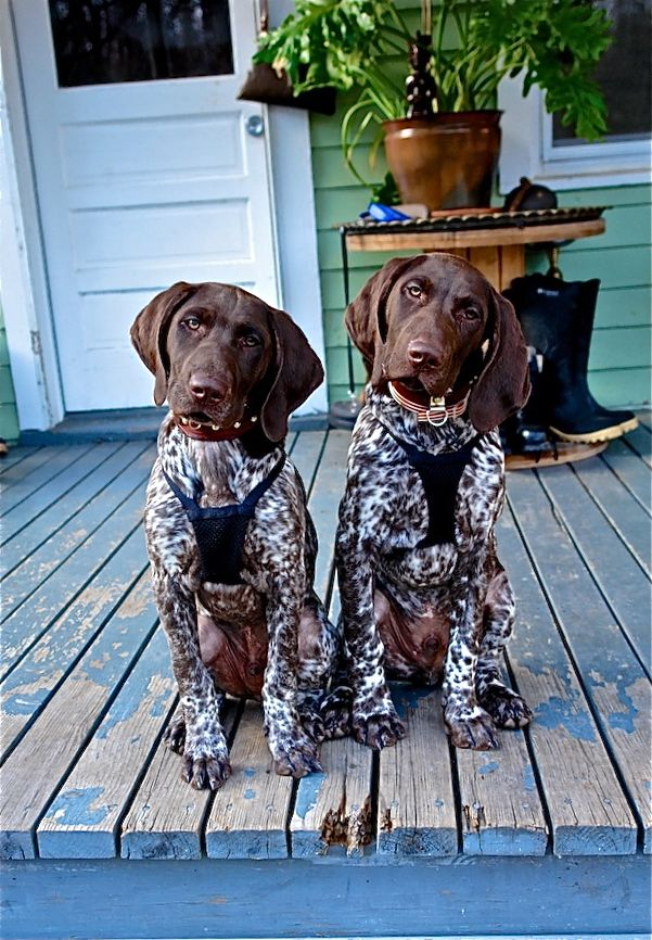 """That head cock! With Harley it's usually """"beach"""" """"ball"""" """"daddy"""" """"walk"""" or """"bye bye in the car"""": Twin, Shorthaired Pointers, Animals, Shorthair Pointer, Dogs, German Pointer, Gsp"""