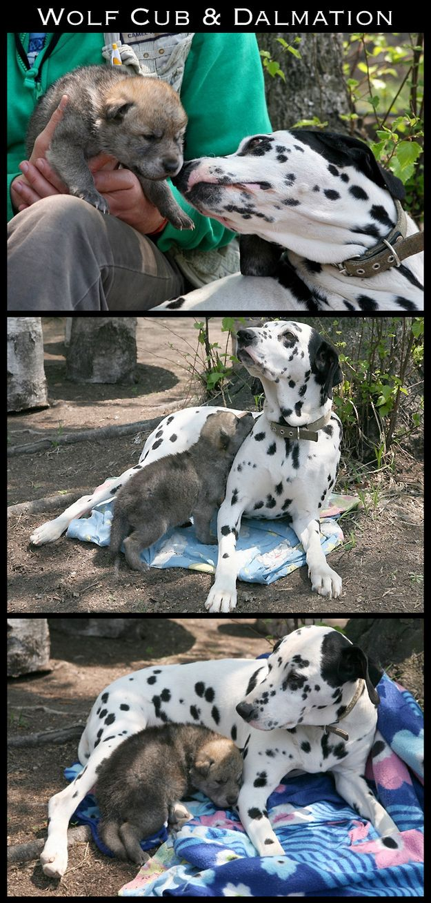 The 30 Most Inspiring Interspecies Friendships Of The Year: Animals Share, Dalmatians, Animal Friendships, Beautiful Friendships, Offer, Adorable Animal