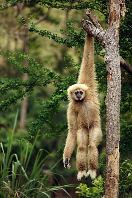 The Gibbon is a primate (lesser great ape) that lives in the rainforest of Southeast Asia. This species is threatened by habitat loss.  by toon_ee: Hanging, Animals, Monkeys, Animal Kingdom, Nature, Creature, Gibbon, Primate, Photo