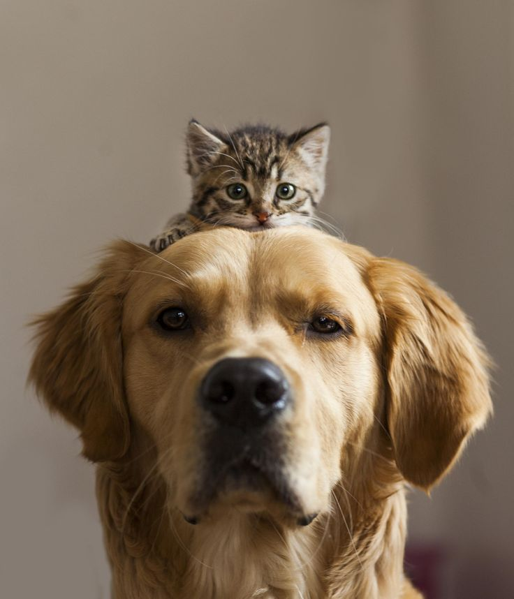 The most adorable photo of a dog and cat!  Photo Credit: Brotherhood by Burak Kilic on 500px. From https://500px.com/photo/69489135/brotherhood-by-burak-kili%C3%87: Animals, Kitten, Best Friends, Pets, Adorable, Cats And Dogs, Photo, Golden Retriever