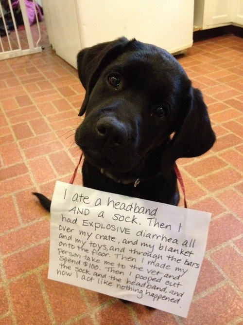This is so funny!: Dogs, Dog Shaming, Pet, Funny, Puppy, Puppies Eat, Black Lab Puppies, Black Labs