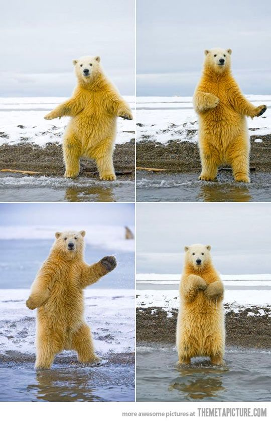 This polar bear is just dying for attention, man.  First he was waving at Craig(not Craig), then he's saving boats that have run ashore...and now THIS. Out of control....: Animals, Polar Bears, Bear Dancing, Dancing Polar, Funny, Dancing Animal, Polar