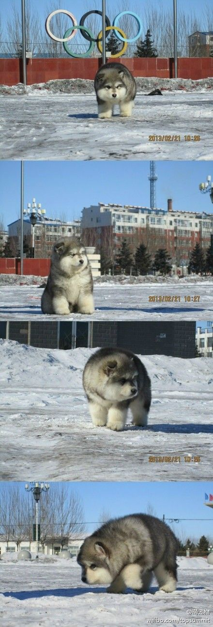 Whatever this is....I want it.: I M Gonna, Animals, Fluffy In, Dogs, Polar Bears, Husky, Puppy, Gonna