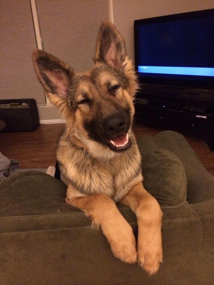 19 Reasons Why You Should NEVER Own A German Shepherd - Don't Believe a Word of This!!!: Smiley Face, German Shepherd Dog, German Shepperd, German Sheperd, German Shepard, Funny German Shepherd