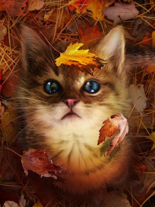 """""""I love you because the entire universe conspired to help me find you.""""  — Paulo Coelho: Cats, Animals, Kitty Cat, Autumn, Fall, Kitty Kitty, Kittens, Eye"""