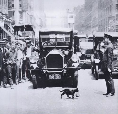 A cat carrying her kitten across the street stopping NYC traffic, July 29, 1925.  vintage photograph.: Cats, Stops Traffic, Kittens, New York City, Newyork, Cross, Animal