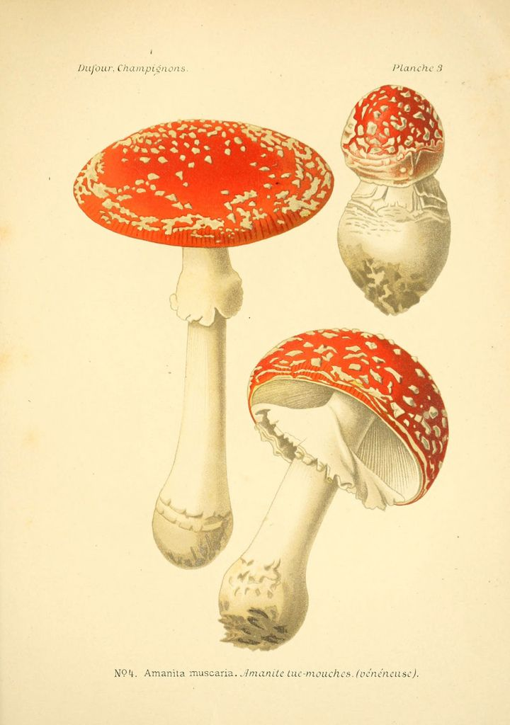 Atlas des champignons comestibles et vénéneux Paris,P. Klincksieck,1891. biodiversitylibrary.org/page/3270680: Botanical Illustration, Botanical Prints, Botanical Art, Mushrooms
