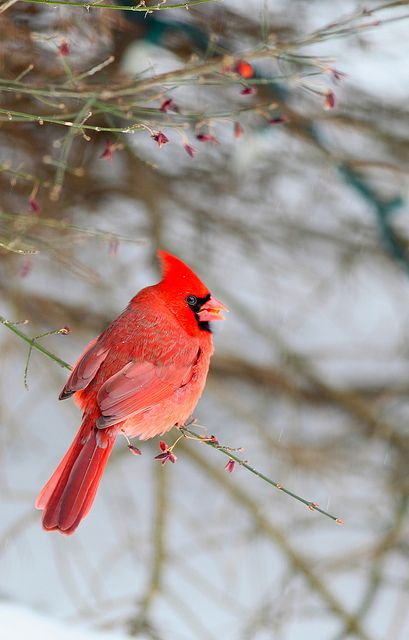 Cardinal.  I love seeing the cardinals at my bird feeder in the winter.  They look so beautiful against the snow.: 3 Birds 3, Cardinals Owls Peacocks, Cardinal Birds, Cardnial Birds, ️Cardinals ️, Animals Birds God, Deb Scardinalsrule, Photo, Birds Cardin