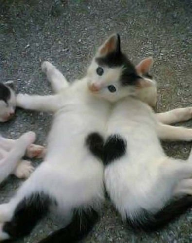 Heart to Heart!: Cats, Animals, Heart, Pets, Adorable, Things, Kittens, Valentine, Kitty