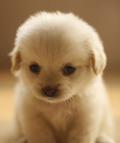 I don't even have a category for this little guy but I couldn't not pin it! Cutest little face i've ever seen:): Face, Cutest Puppy, Cute Puppies, Dogs, Adorable Animals, Pets, Puppys, Box