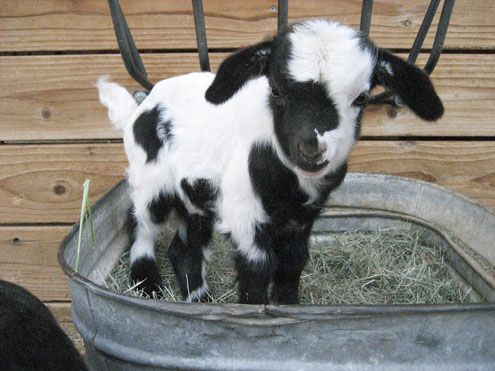 i don't know why but i am obsessed with mini-goats.  i just want to carry one around in my purse!: Farm Animals, Babies, Pet, Pygmy Goat, Babygoats, Box, Baby Animals, Baby Goats